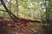 """Sleeping Giants,""  2003, trees and paint, 61.4' long"
